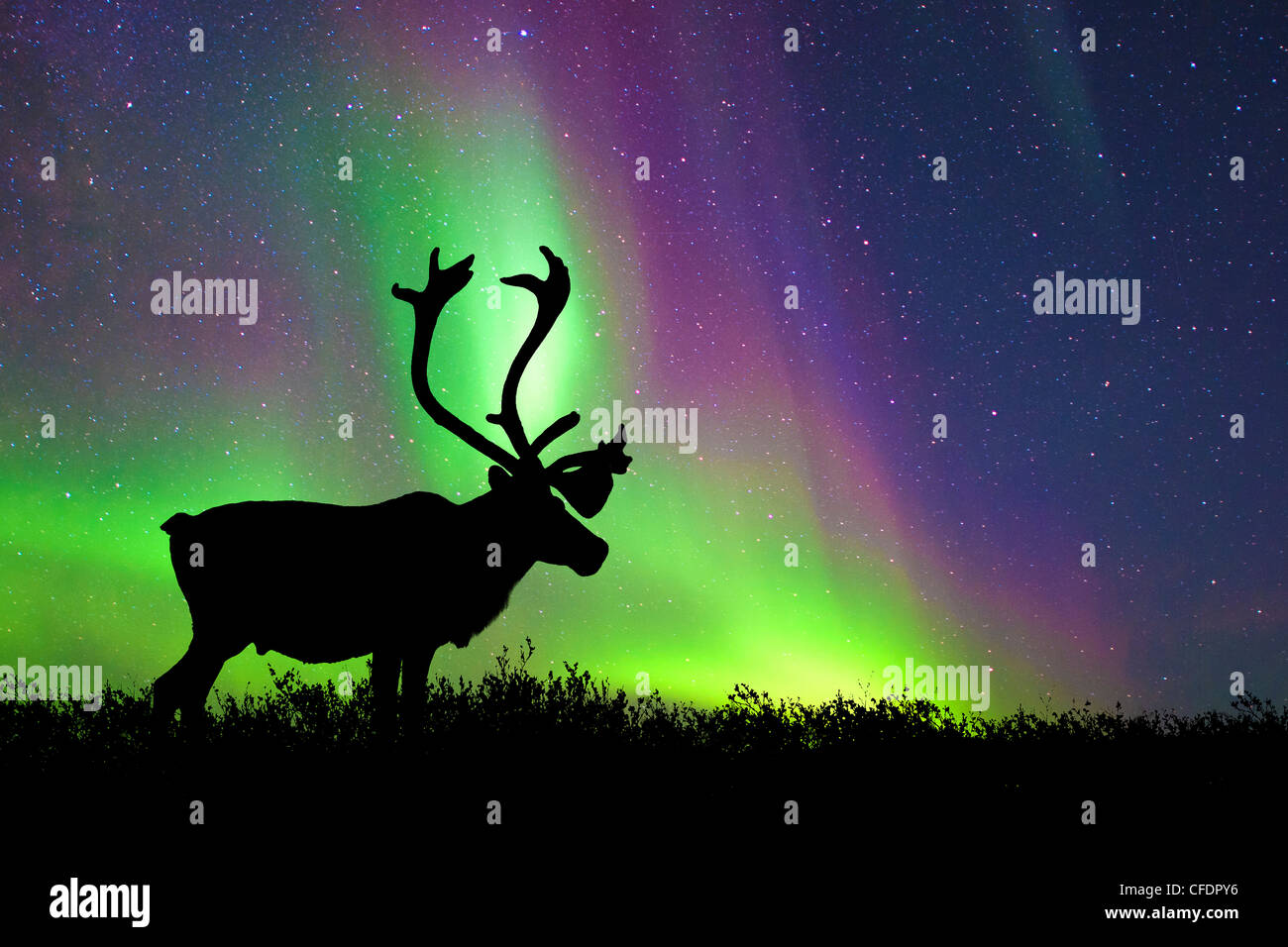 Caribou bull Rangifer tarandus silhouetted - Stock Image