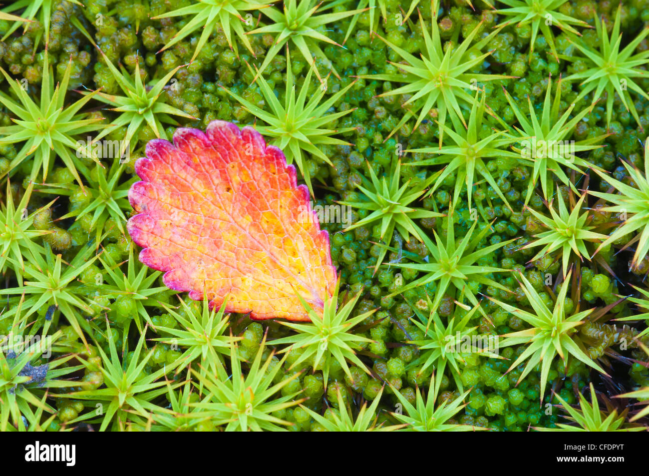 Dwarf birch (Betula glandulosa) on arctic moss, Barrenlands, centrral Northwest Territories, Arctic Canada - Stock Image