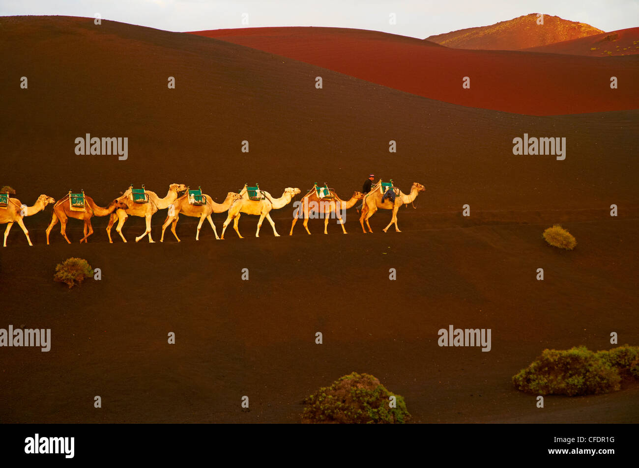 Excursion by camel to visit volcano, National Park of Timanfaya, Lanzarote, Canary Islands, Spain, Europe - Stock Image