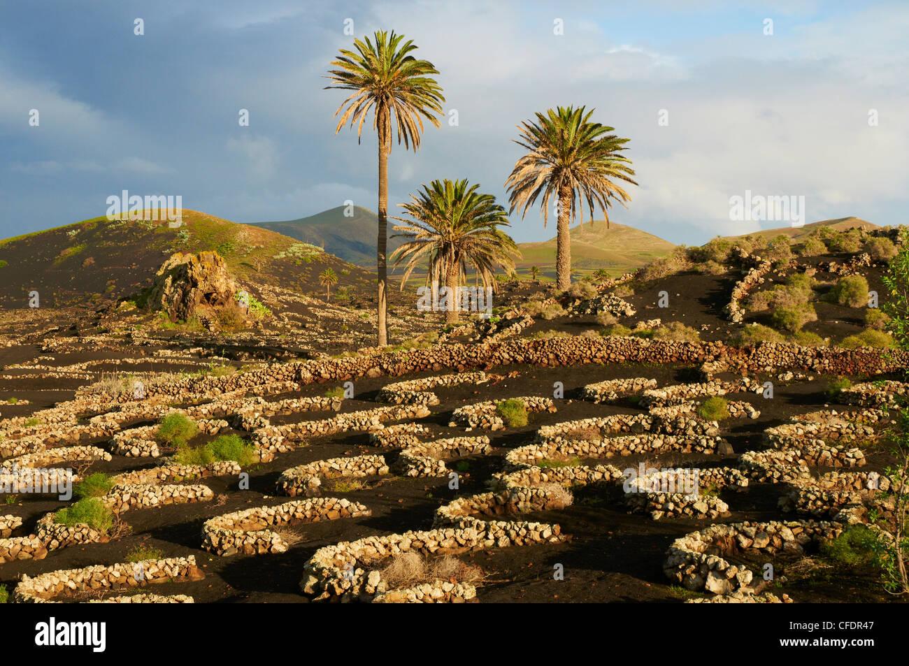 Vineyard near Yaiza, La Geria, Reserve of Biosphere, Lanzarote, Canary Islands, Spain, Europe - Stock Image