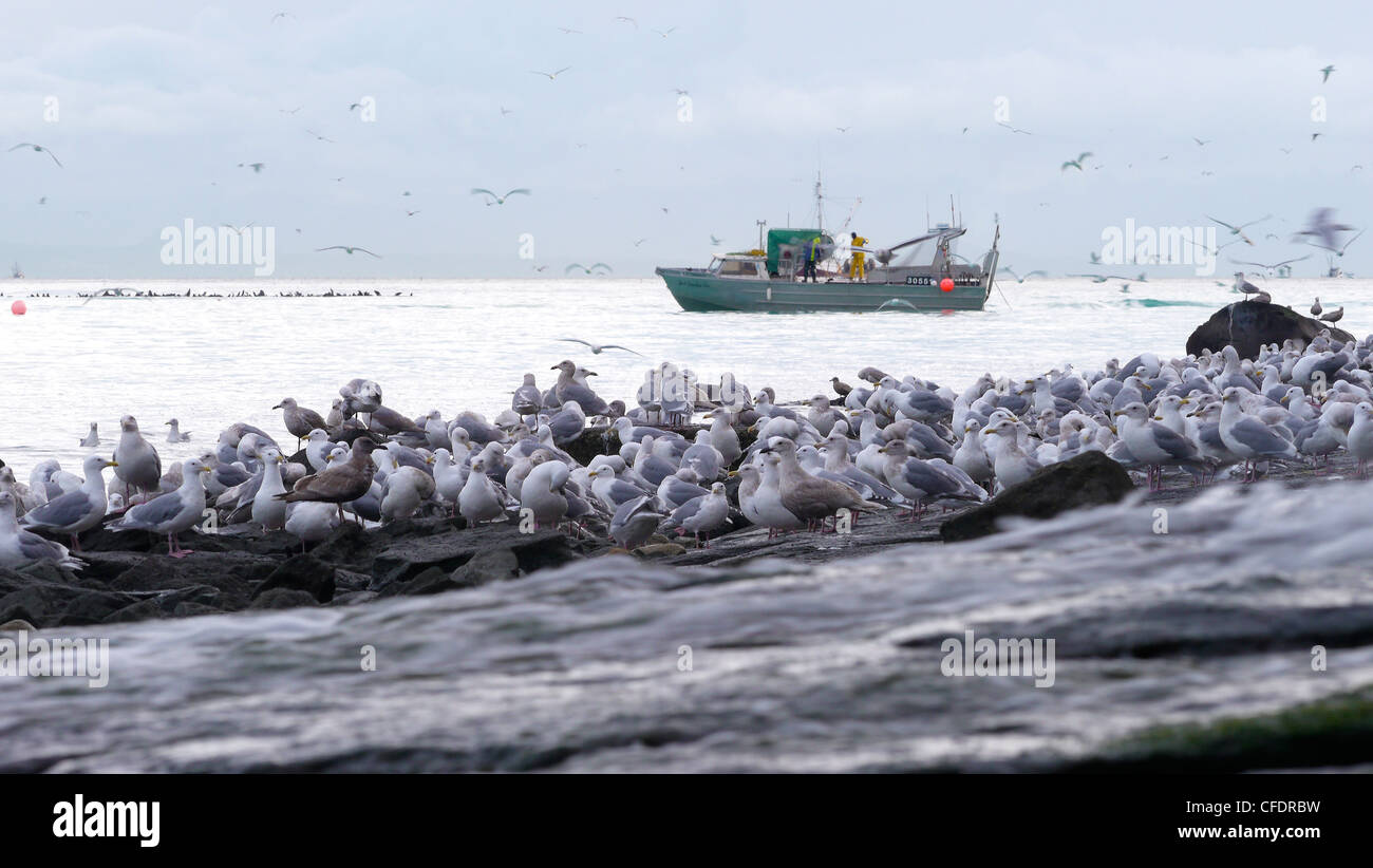 Fisheman herring fishing with seagulls on shore, Hammond Bay, Georgia Strait, Vancouver Island, British Columbia, - Stock Image