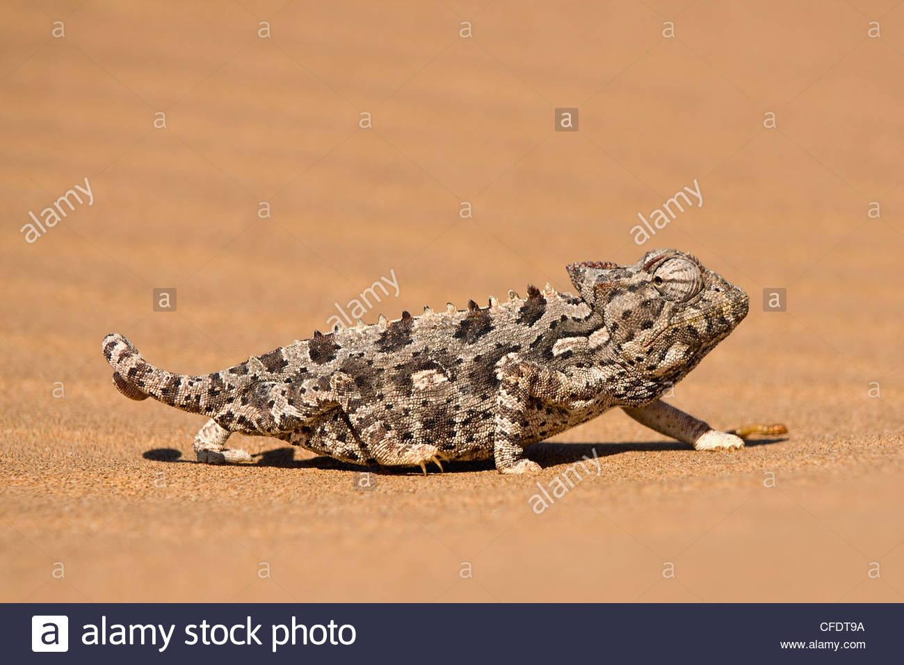 Namaqua chameleon (Chamaeleo namaquensis) walks on reddish sand dune, Namib Desert, Namibia, Africa - Stock Image