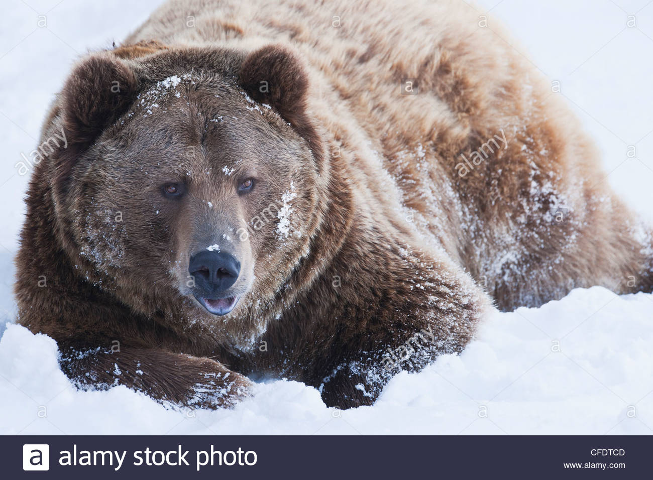 Brown bear (Ursus arctos) lies in snow, Grizzly Encounter in Bozeman, Montana, United States of America, - Stock Image