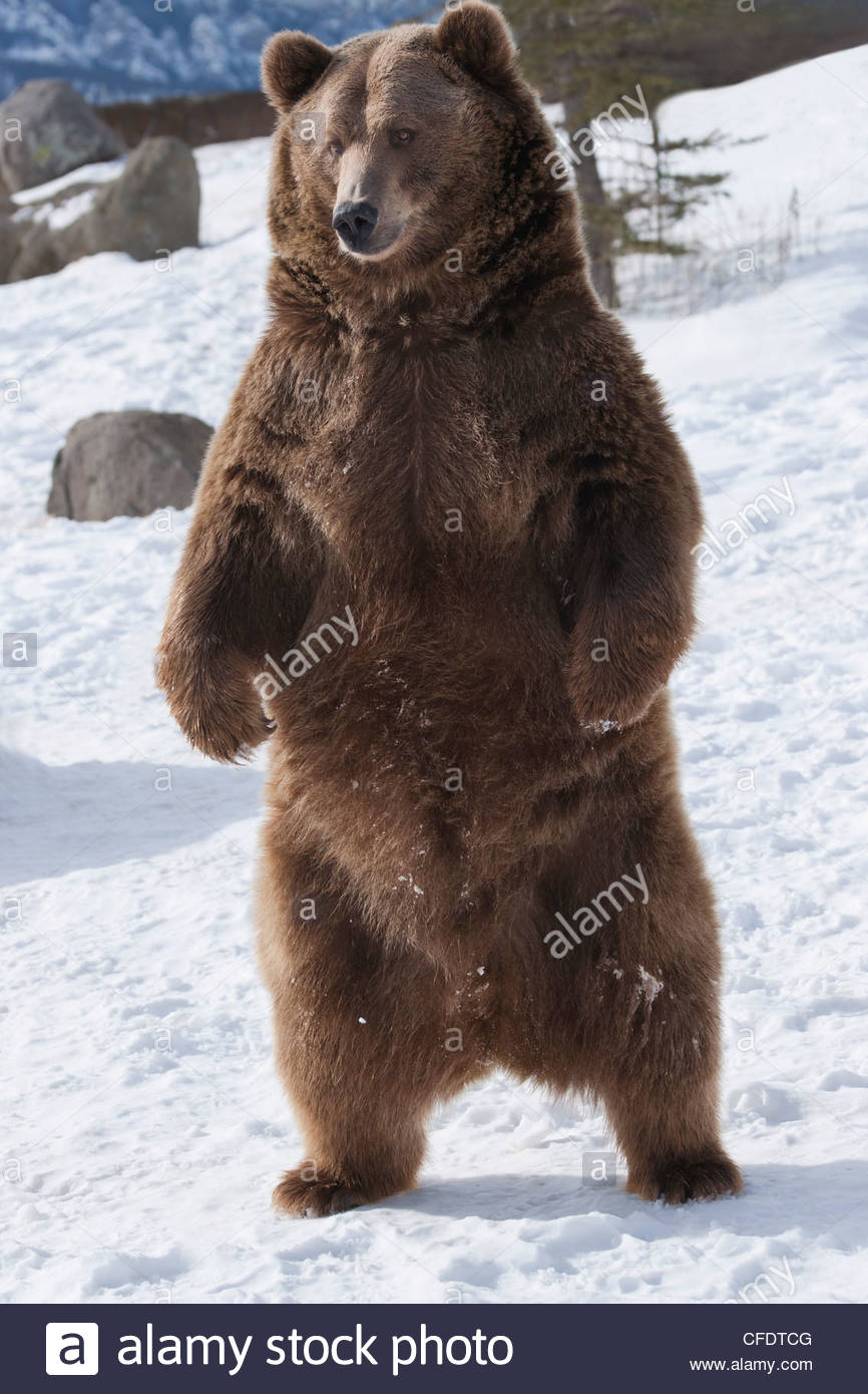 Brown bear (Ursus arctos) from coastal Alaska stands in snow, Grizzly Encounter in Bozeman, Montana, United States - Stock Image
