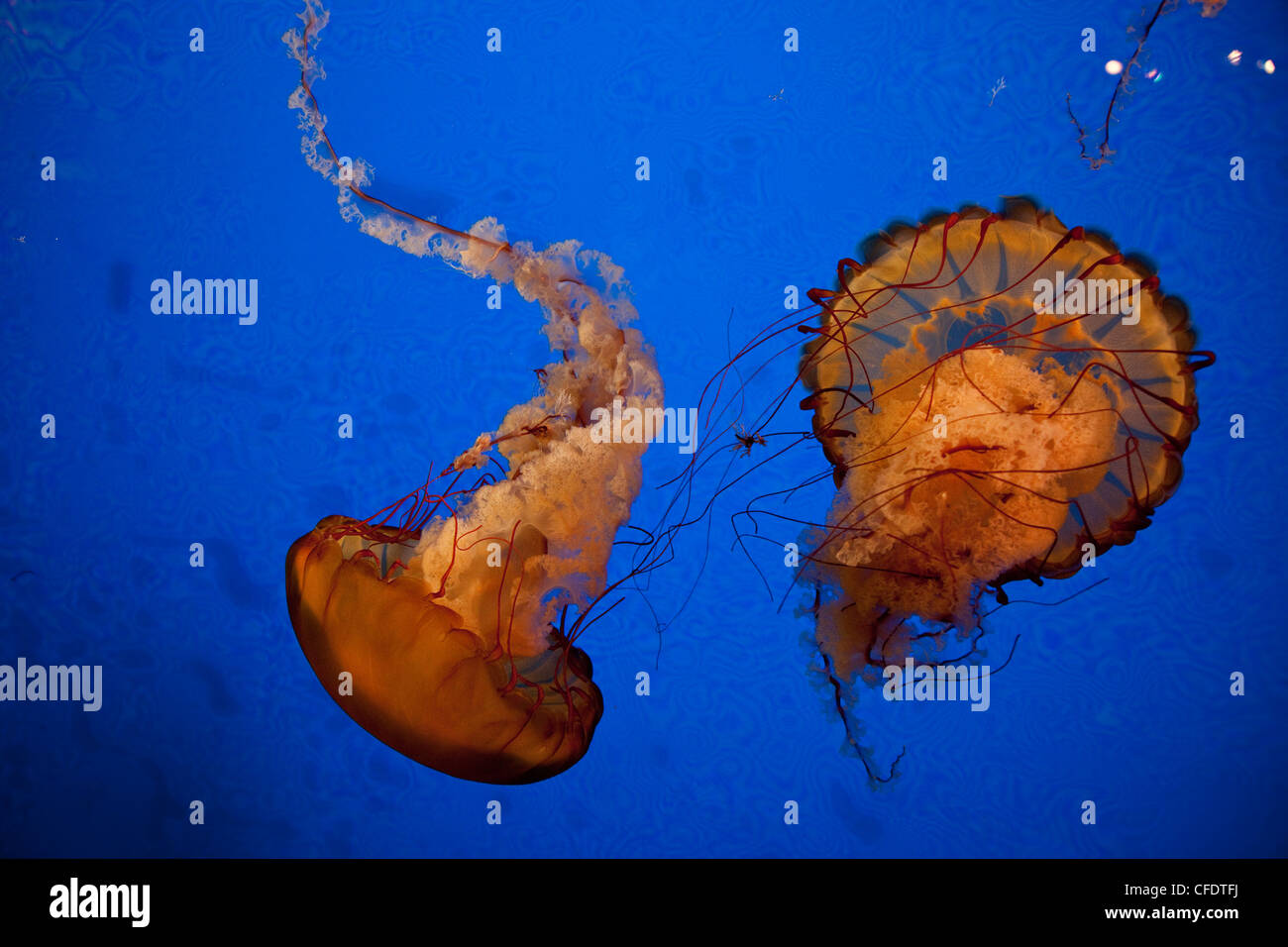 Jellyfish display at Shaw Ocean Discovery Centre Aqaurium, Vancouver Island. - Stock Image