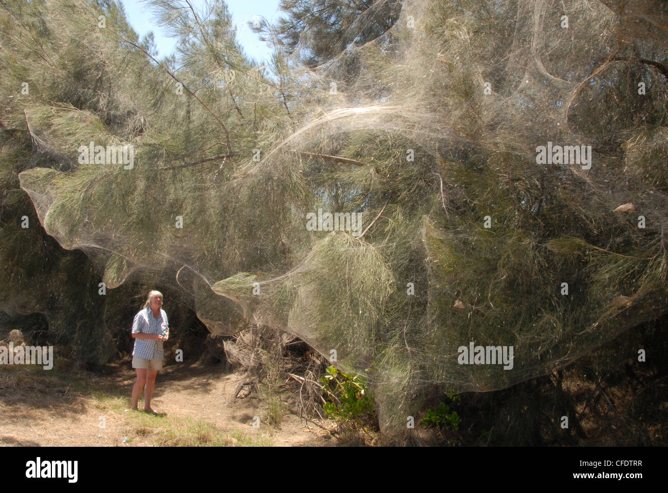 Caterpillar webs draped over entire clump of trees, Bowen, Queensland, Australia, Pacific - Stock Image