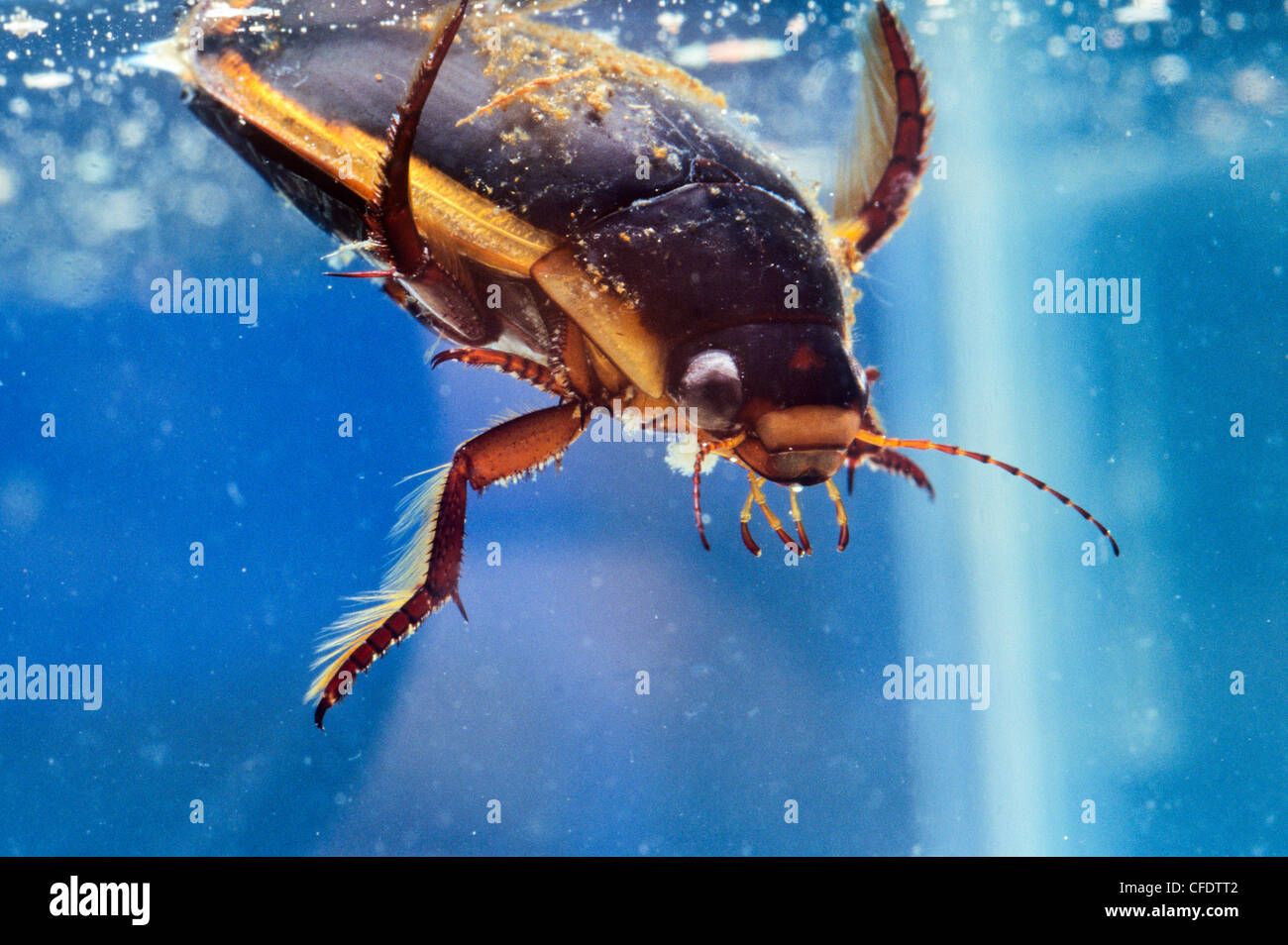 Large Diving Beetle (Dytiscus spp.) Stock Photo