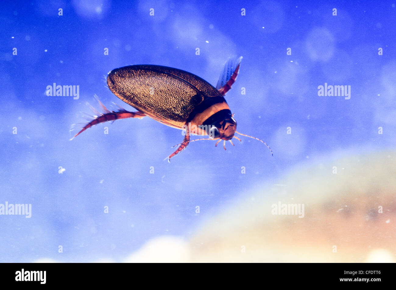 Small Flat Diving Beetle (Acilius spp.) Stock Photo