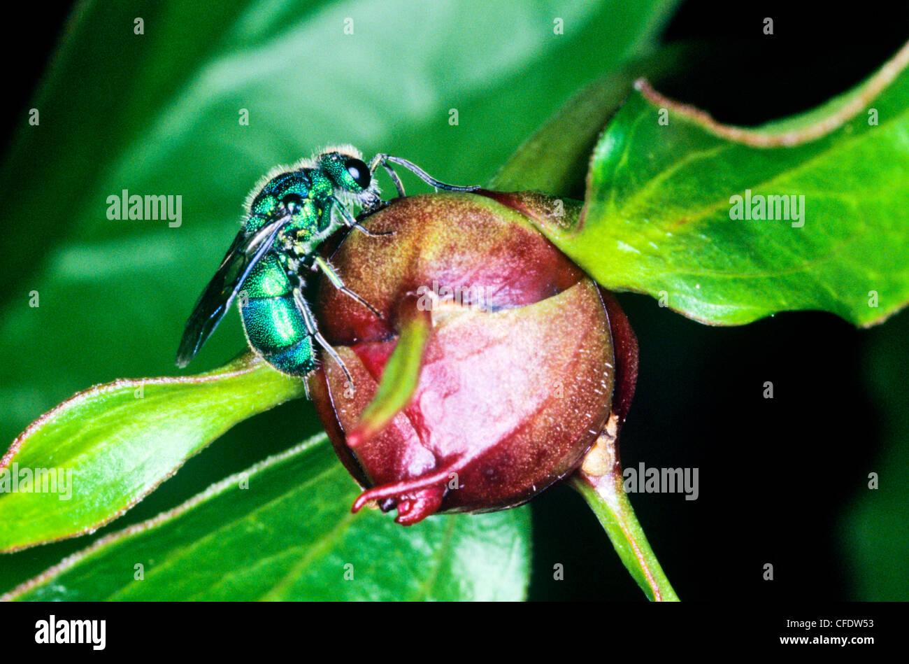 (Augochlora spp.), Augochlora Green Metalic Bee - Stock Image