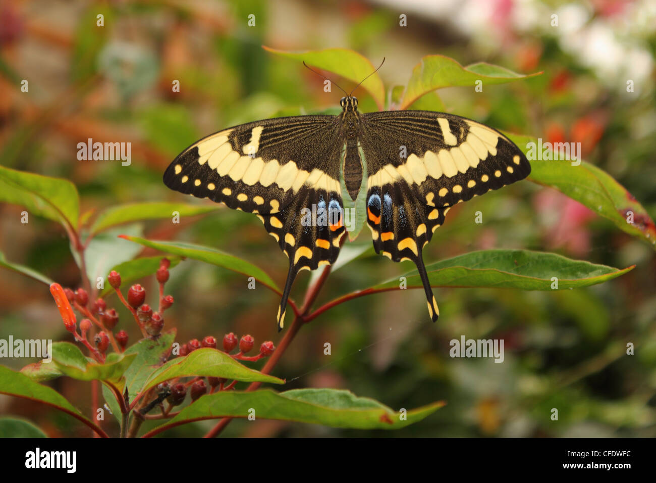 Swallowtail Butterfly (Papilionidae) - Stock Image