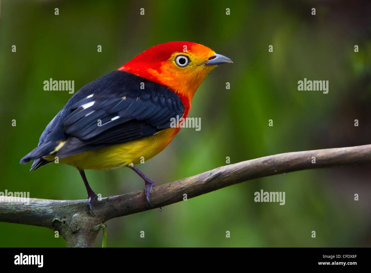 Band-tailed Manakin (Pipra fasciicauda) in Peru - Stock Image
