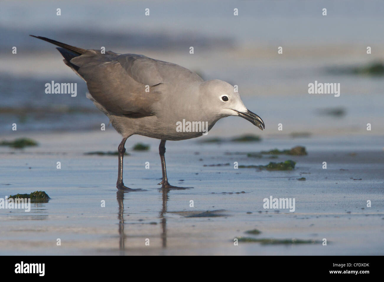 Gray Gull (Larus modestus) feeding along the shoreline in Peru. - Stock Image