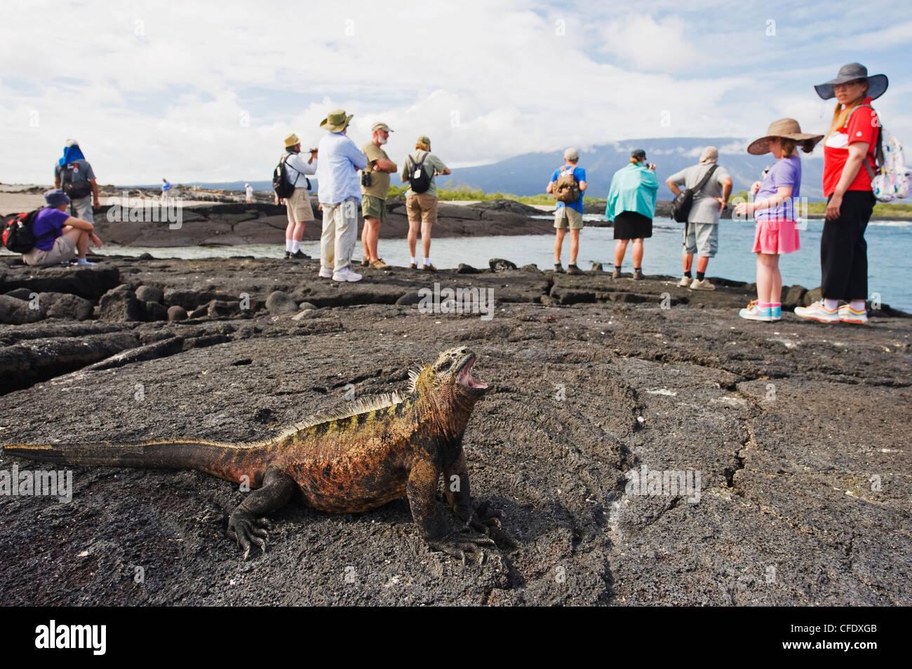 Tourists looking at marine iguanas (Amblyrhynchus cristatus), Isla Isabela, Galapagos Islands, Ecuador - Stock Image