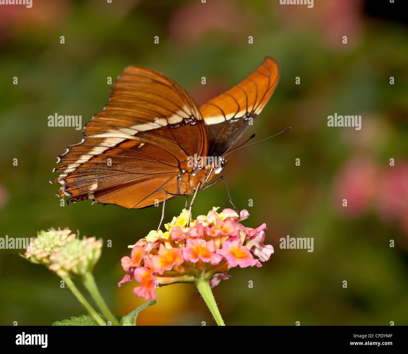 Brown siproeta (brown page butterfly) in captivity, Butterfly World and Gardens, Coombs, British Columbia, Canada - Stock Image