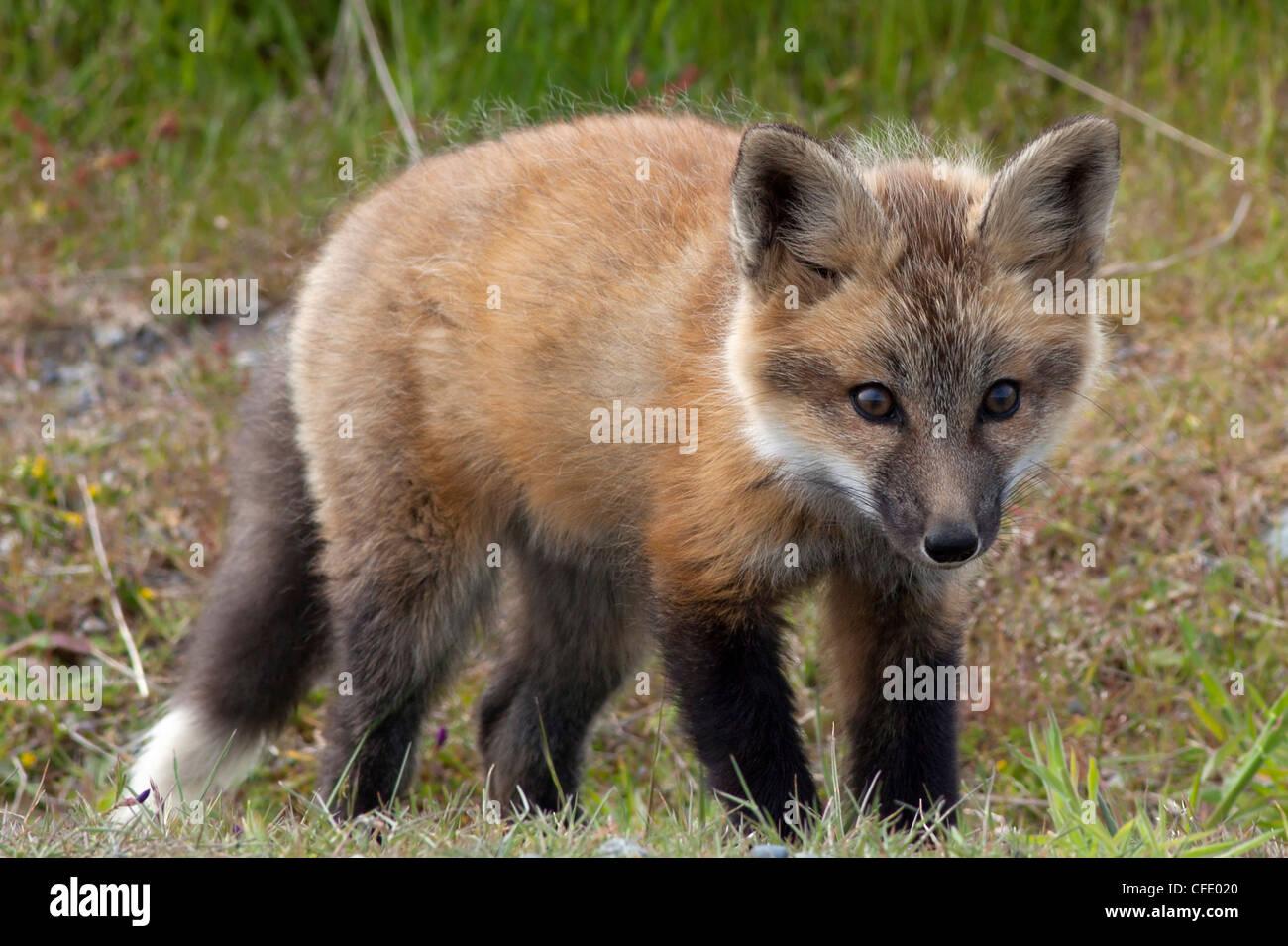 Wild Red Fox Kit Vulpes vulpes San Juan Island - Stock Image