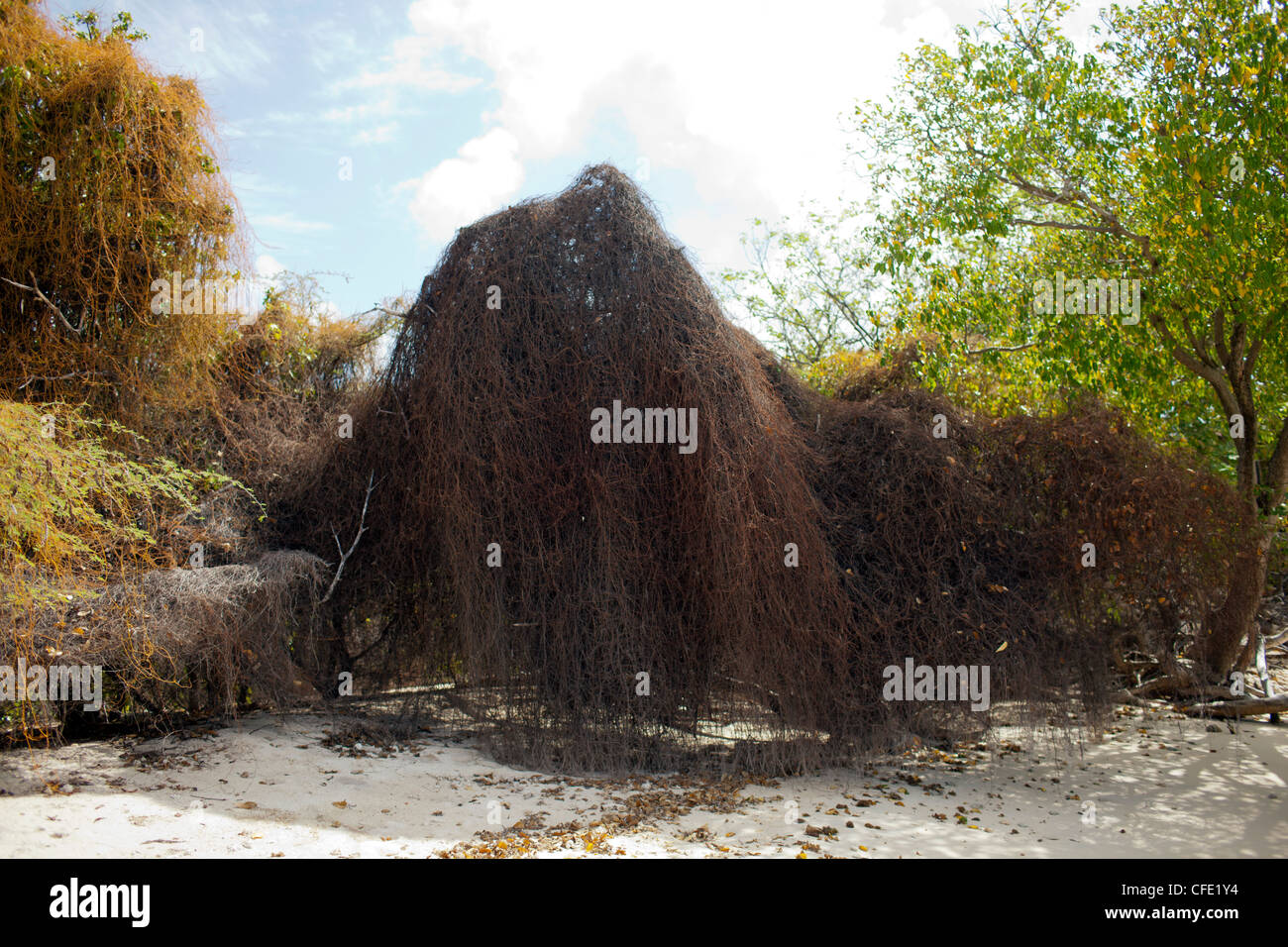 A heavy cover of vines smothers a tree at Campbell Bay on Union Island, St. Vincent and the Grenadines. - Stock Image