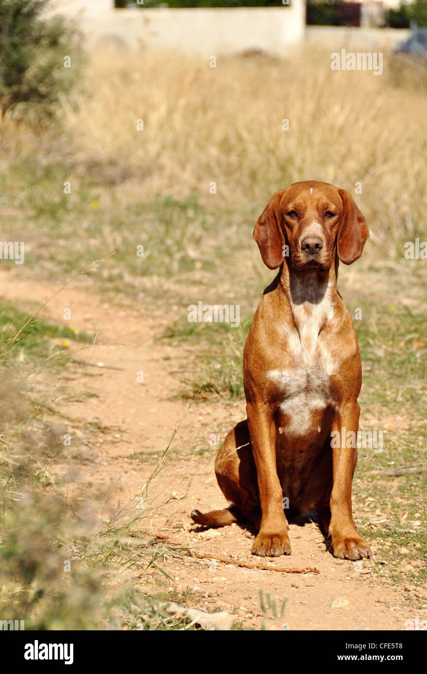 Stray hound sitting alone in a field - Stock Image