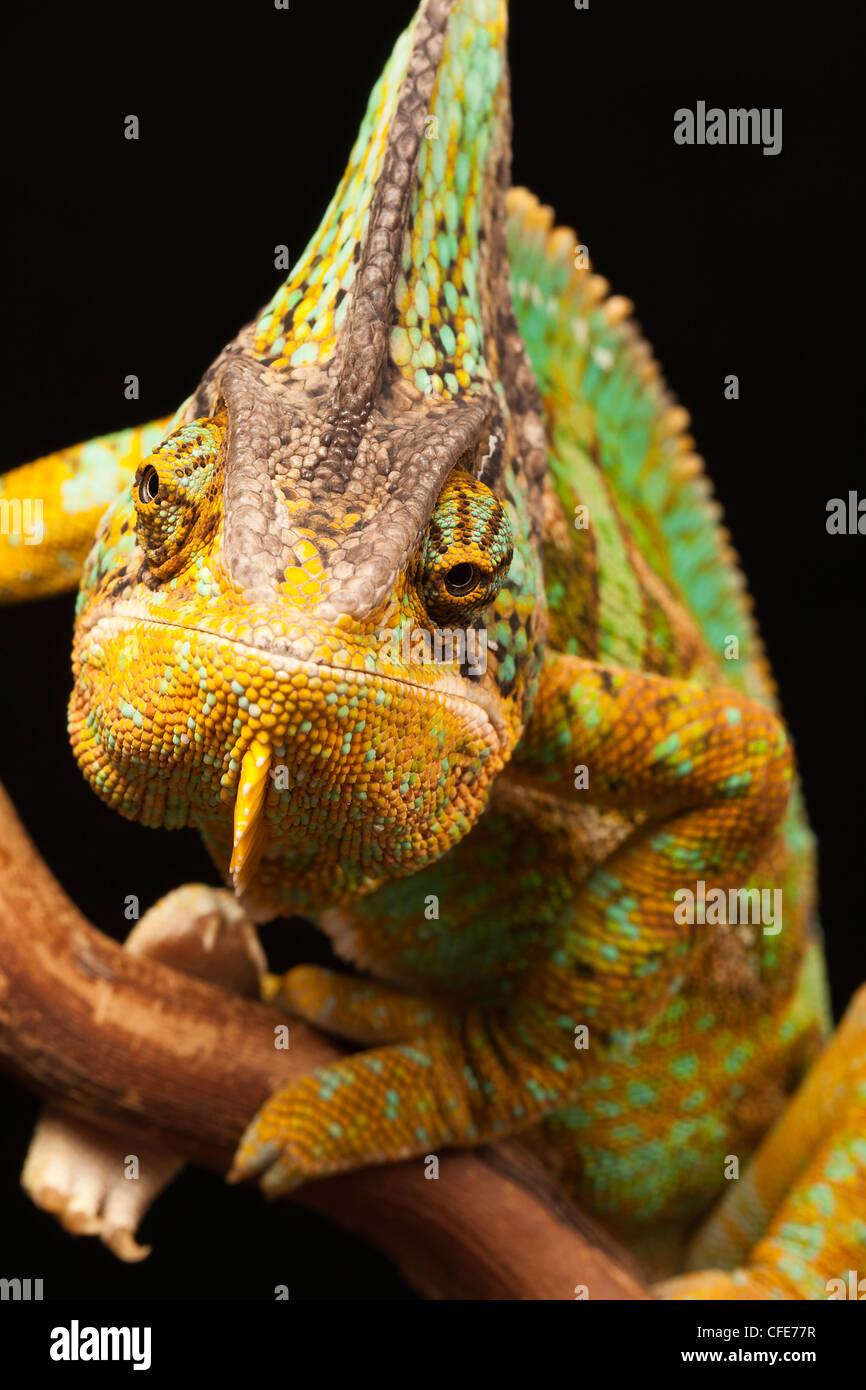 Yemen (Veiled) Chameleon, chamaeleo calyptratus. - Stock Image