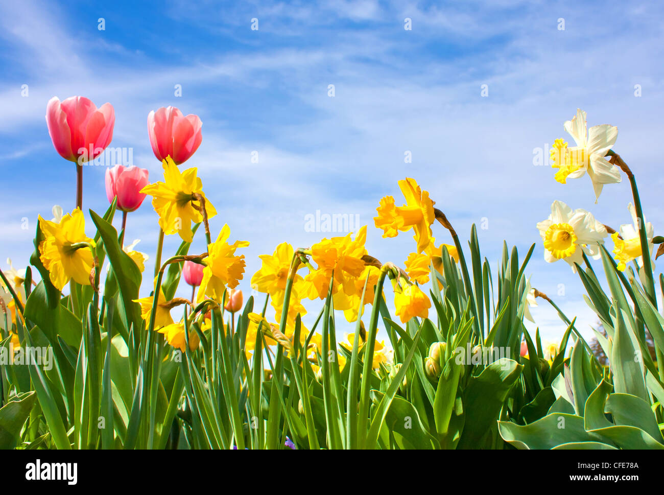 Nice blossom of spring, tulips, narciss on blue sky - Stock Image