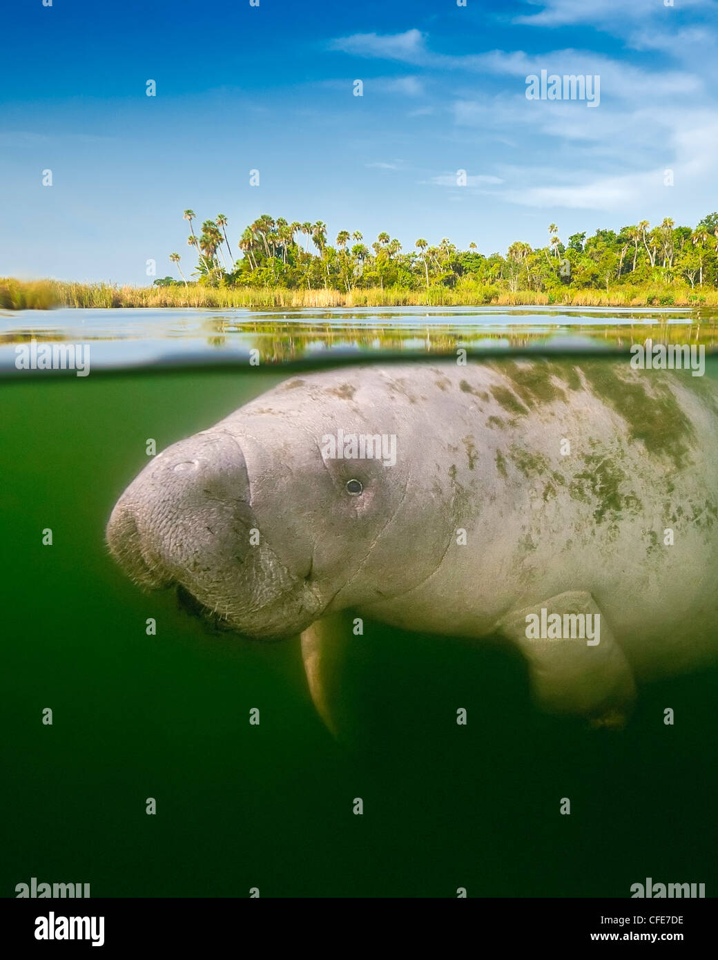 Over/under of Florida manatee calf - Stock Image