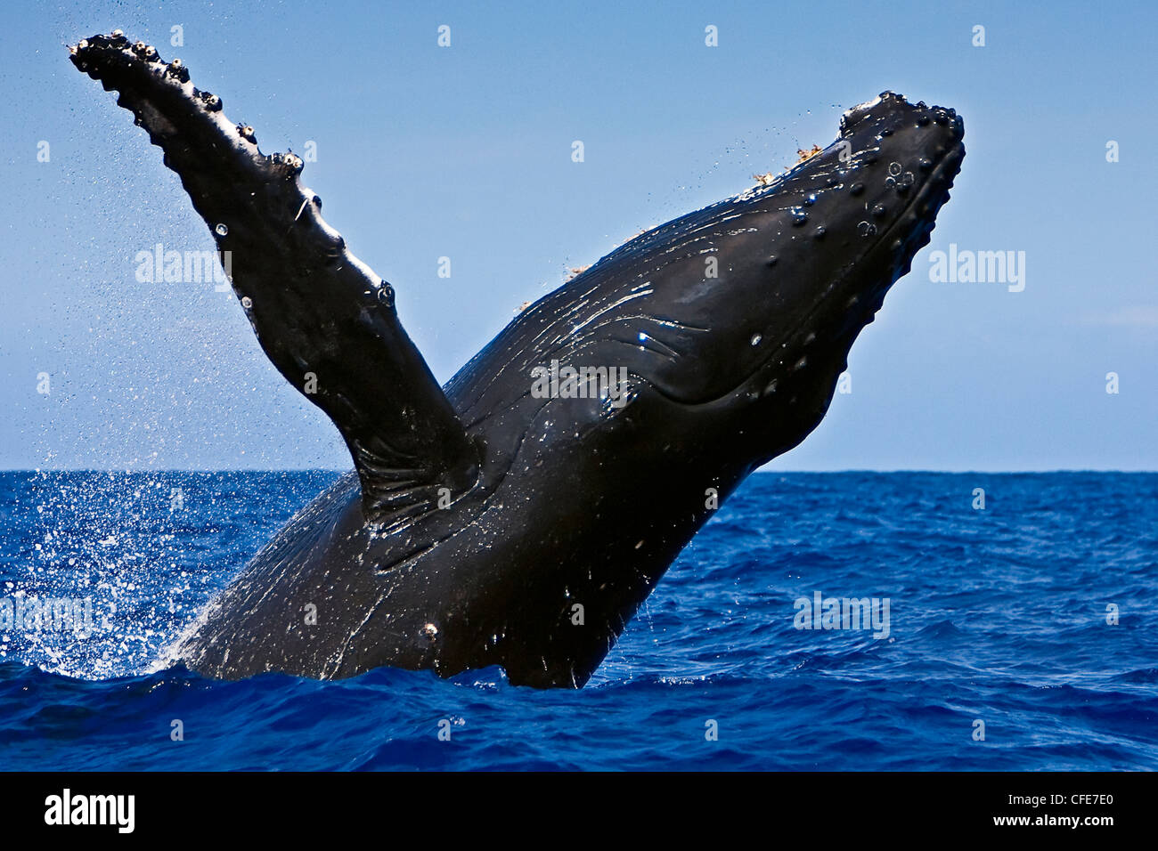 Breaching humpback whale - Stock Image