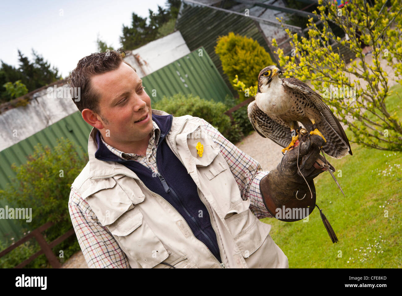 UK, England, Yorkshire, Bedale, Thorpe Perrow Arboretum, Falconry handler with Harris Hawk - Stock Image