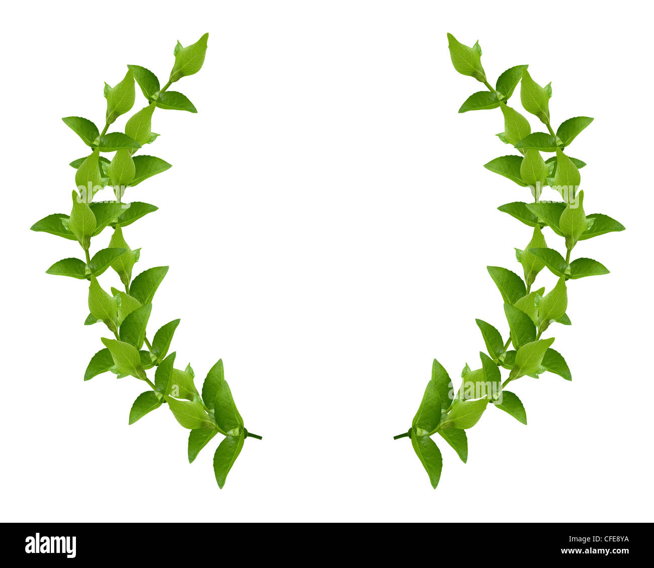 Laurel Wreath made by fresh Green leaves isolated on white, - Stock Image