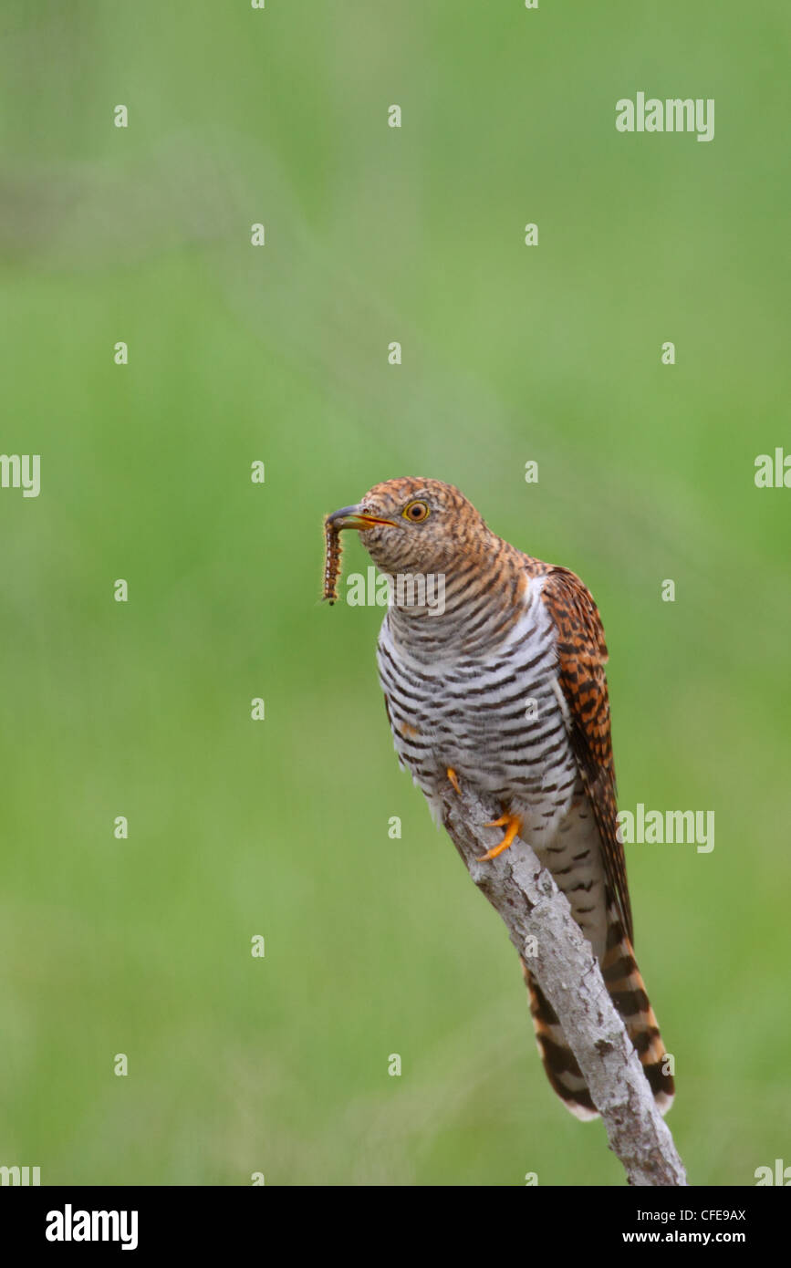 Common Cuckoo (Cuculus canorus), adult female with a worm. Europe - Stock Image