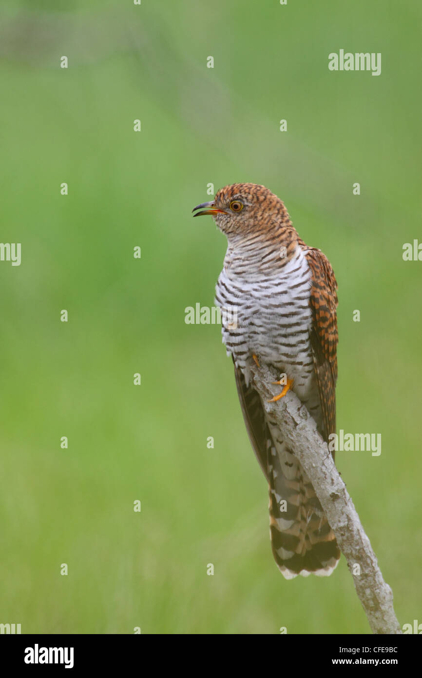Common Cuckoo (Cuculus canorus), adult female, spring. Europe. - Stock Image