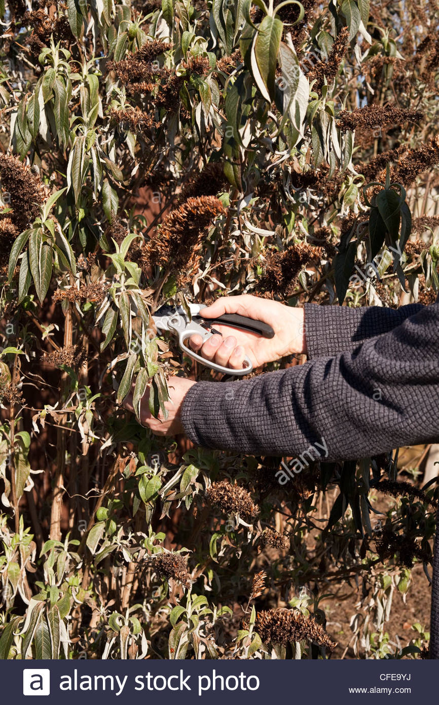 Person pruning a butterfly or buddleia bush using secateurs - Stock Image