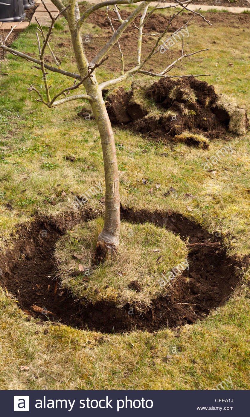 Moving a tree - Root ball of an apple tree ready for transplanting to a new area - Stock Image