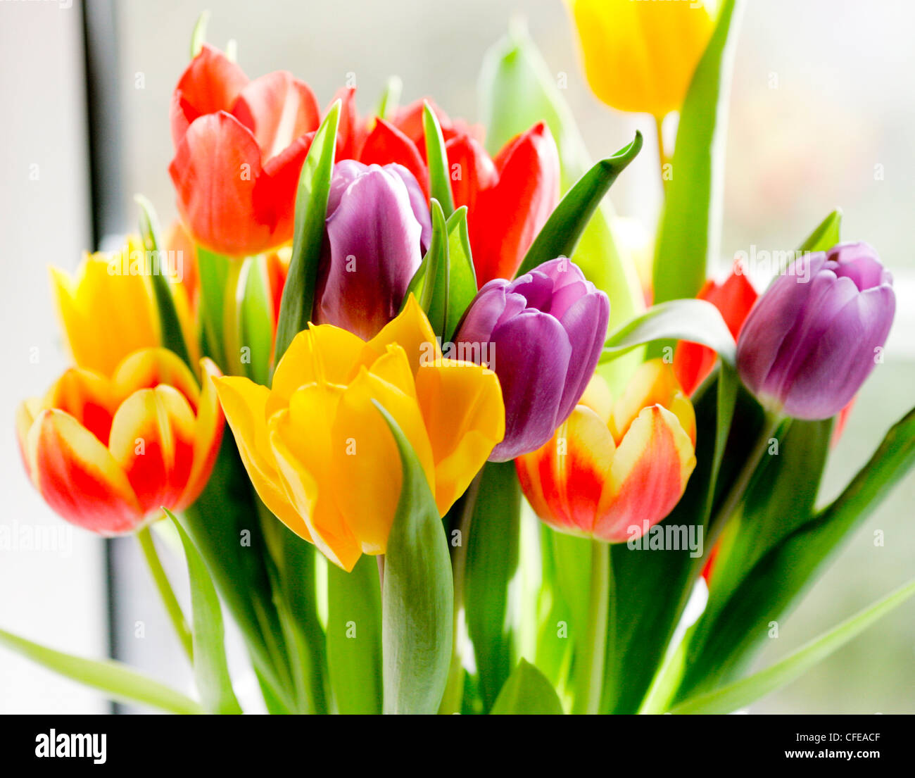 colorful flowers tulips - Stock Image