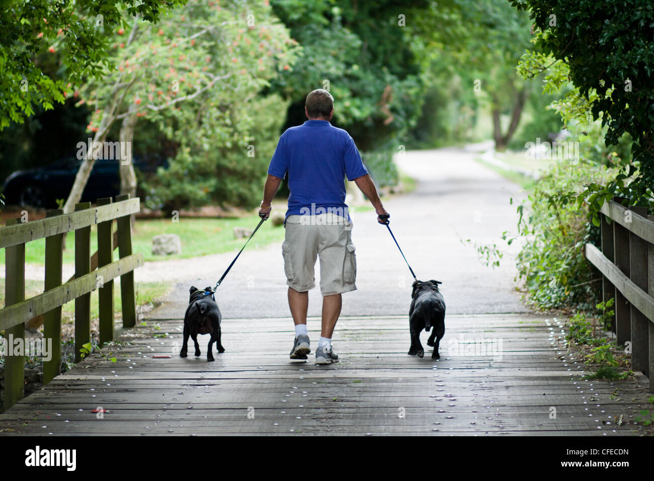 A man walking two staffordshire bull terriers on a countryside track - Stock Image