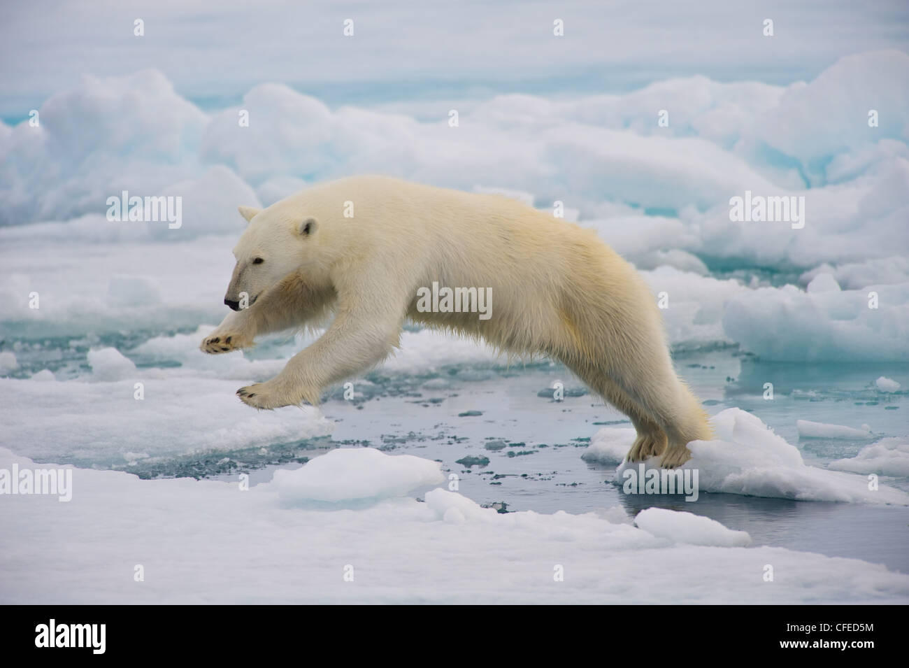 A frame-filling portrait of a male polar bear (Ursus maritimus) jumping in the pack ice, its paws in the air. - Stock Image
