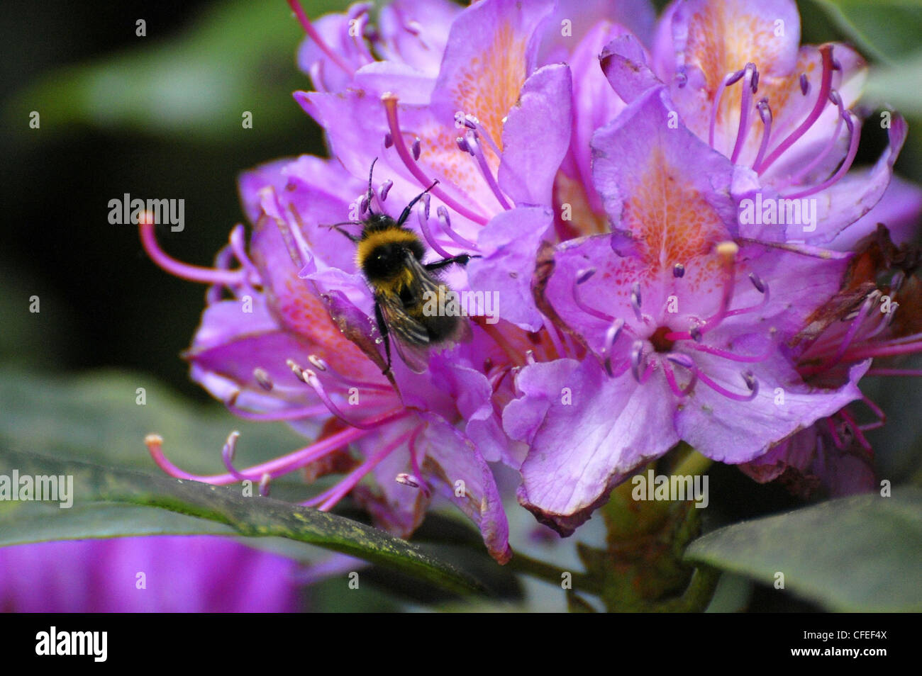 Bumblebee taking pollen from flower Stock Photo