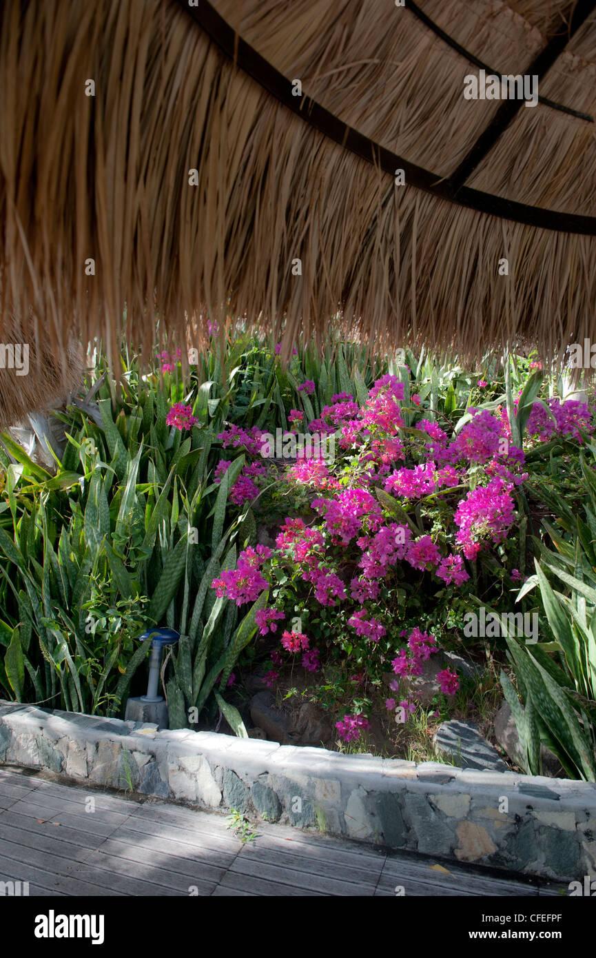 Purple bougainvillea under straw umbrella, Grand Case, Saint Martin - Stock Image