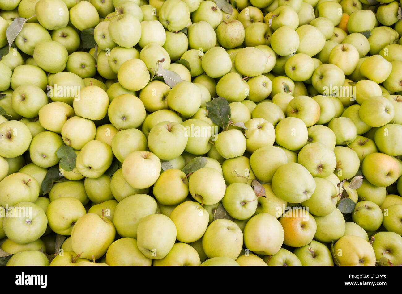 Freshly harvested colorful golden delicious apples on display at the farmers market - Stock Image