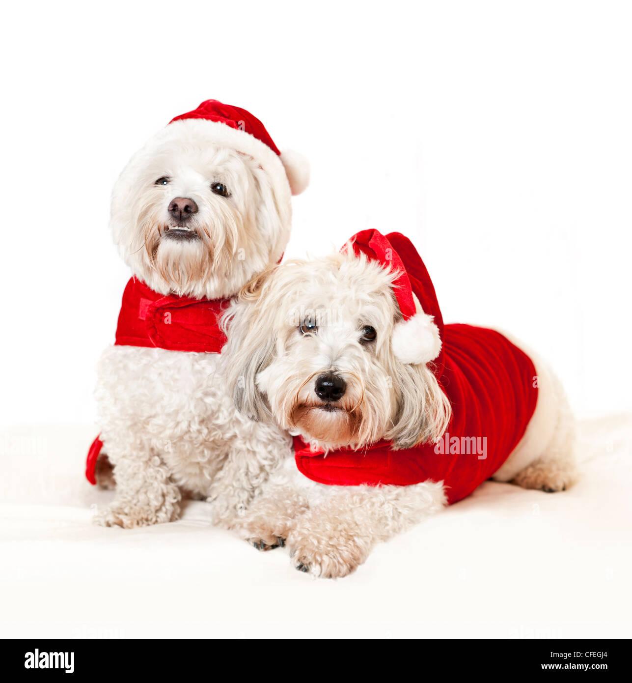 Two adorable coton de tulear dogs wearing santa costumes - Stock Image