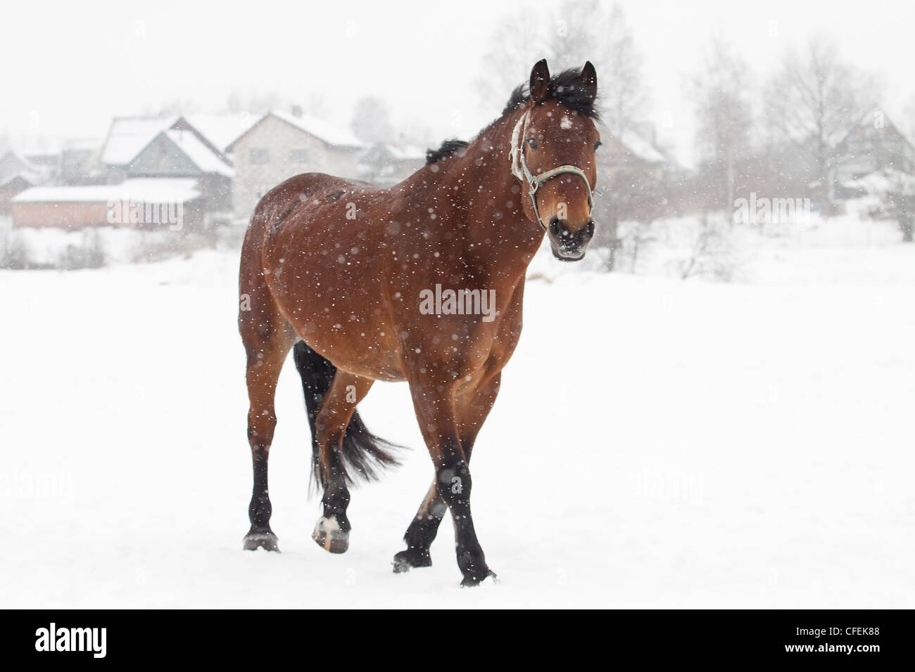 Dark bay horse on snowy meadow - Stock Image