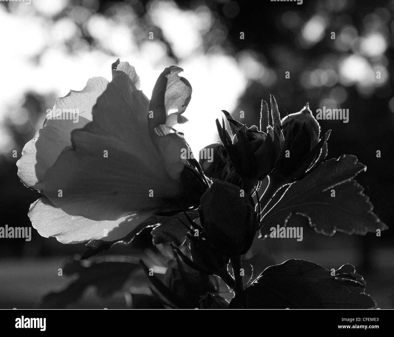 Black and White silhouette of a Rose of Sharron flower in the evening light. - Stock Image