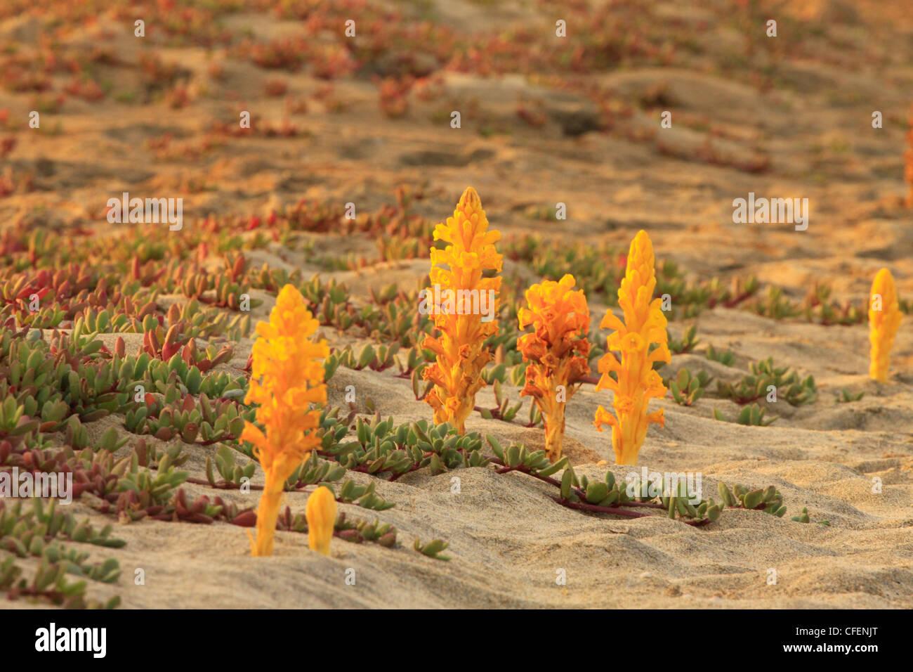 Cistanche phelypaea Yellow Broomrape Stock Photo
