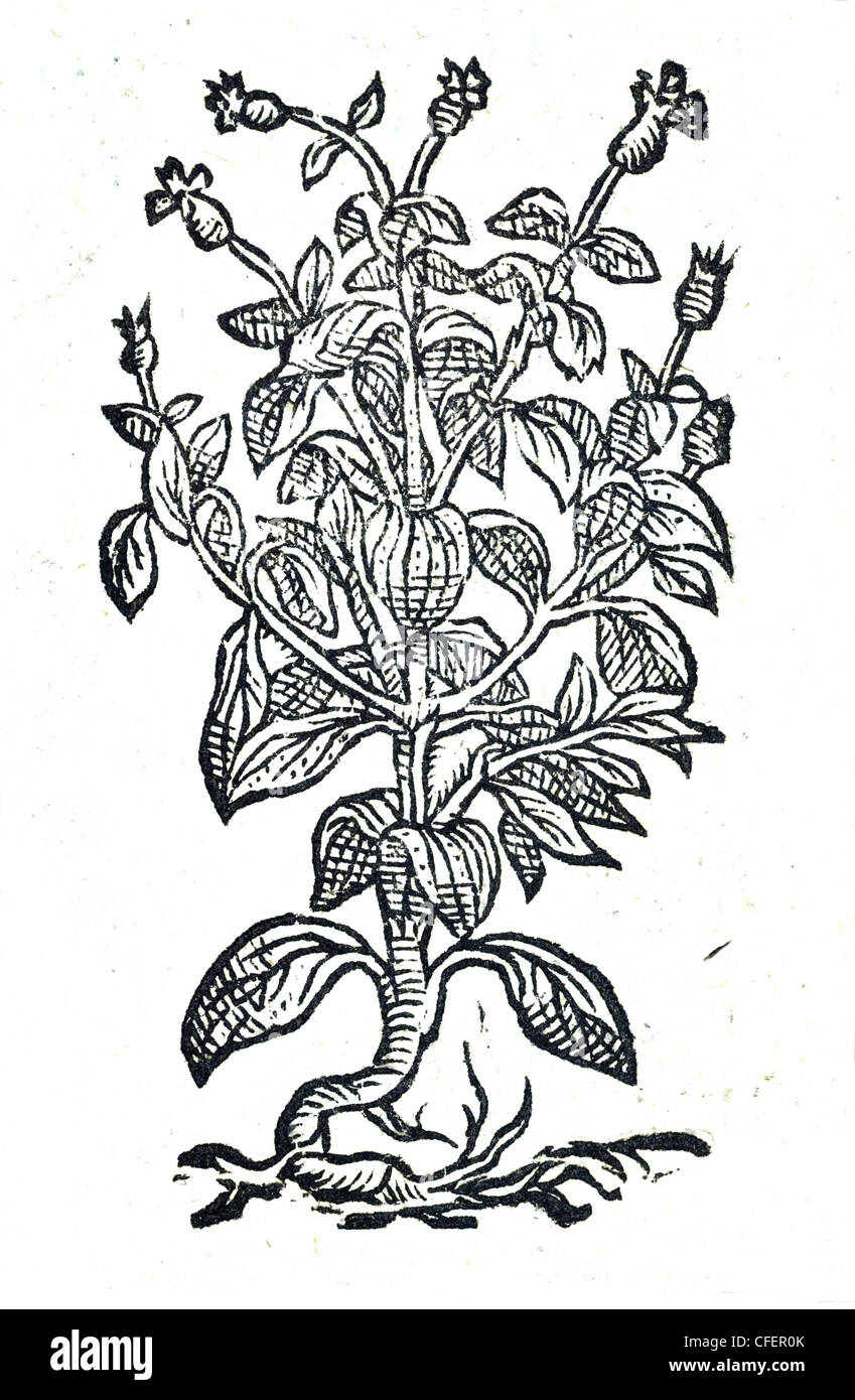 Wild Basil  Lychnis sylv. alba simplex, Bauhin. / Ocymastrum seu Ocymoides, Matt. et al. / Fr. Basilic sauvage - Stock Image