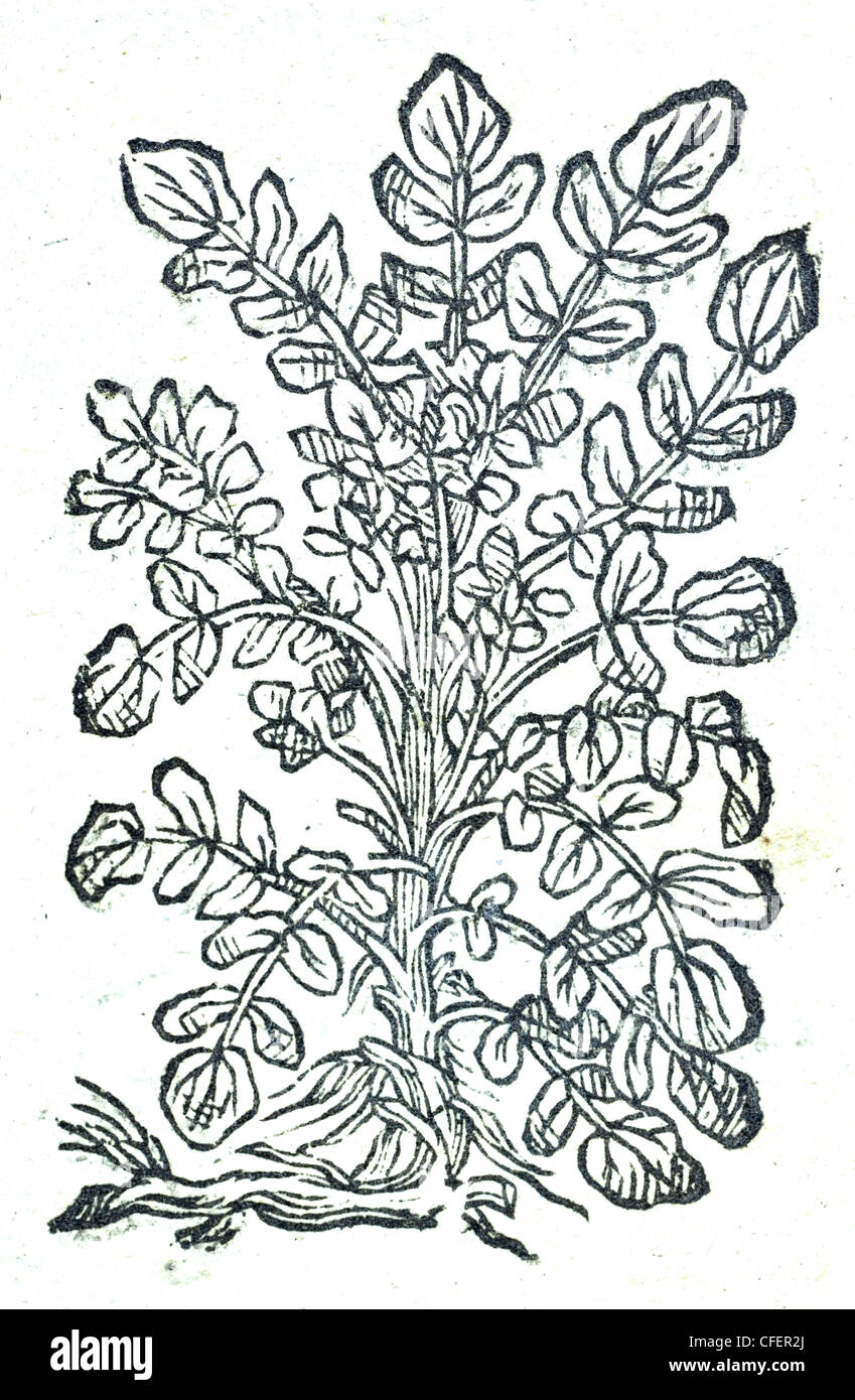 18th century old botanical illustration woodcut of Watercress / Nasturtium officinale  Nasturtium Aquaticum supinum Stock Photo