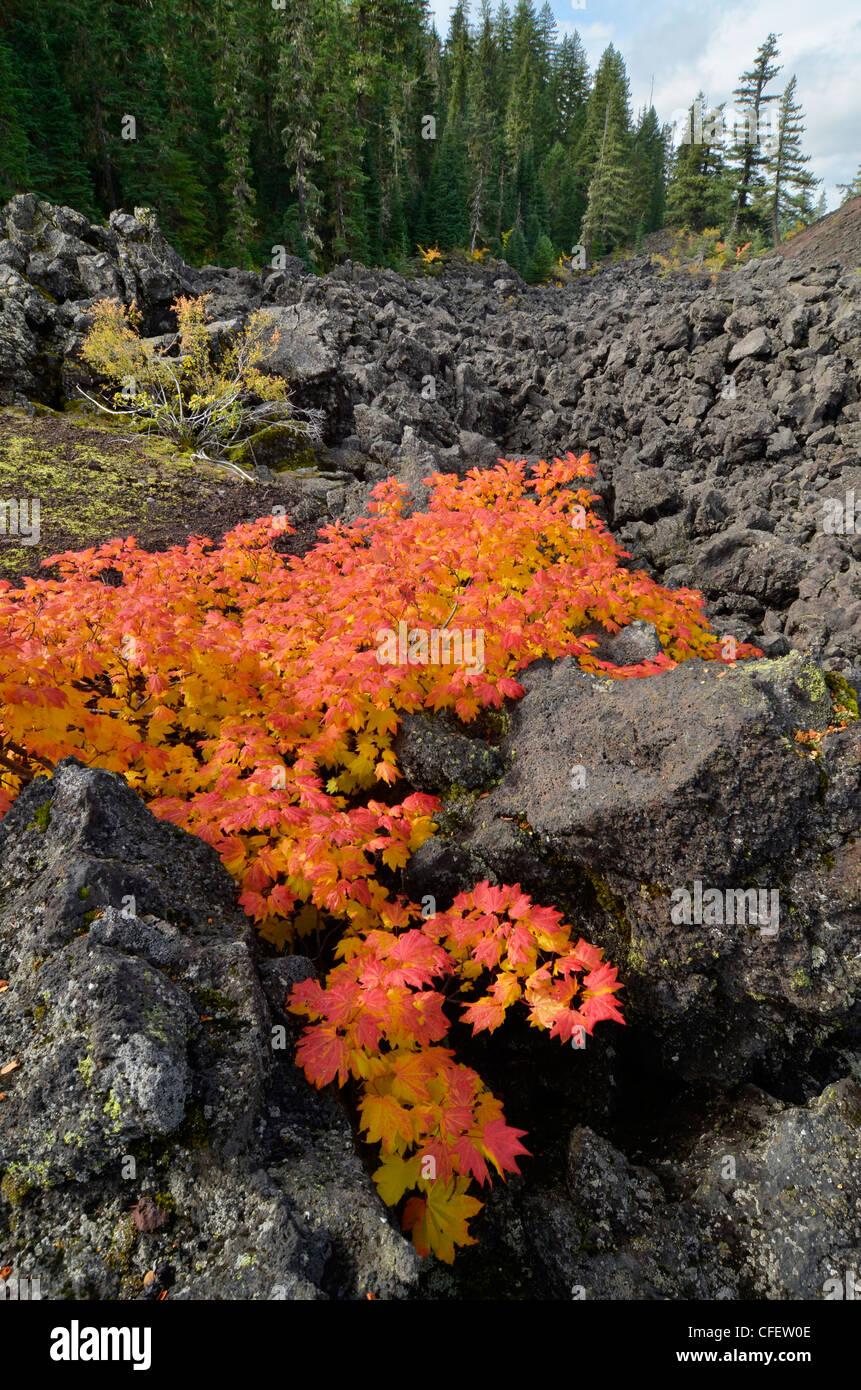 Vine maple in autumn color in a lava field high in Oregon's Cascade Range. - Stock Image