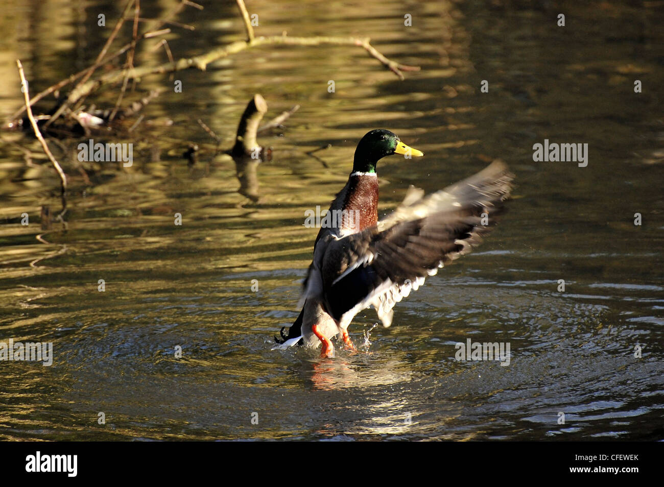 Male Mallard duck standing upright in water with wings fully swept forward - Stock Image