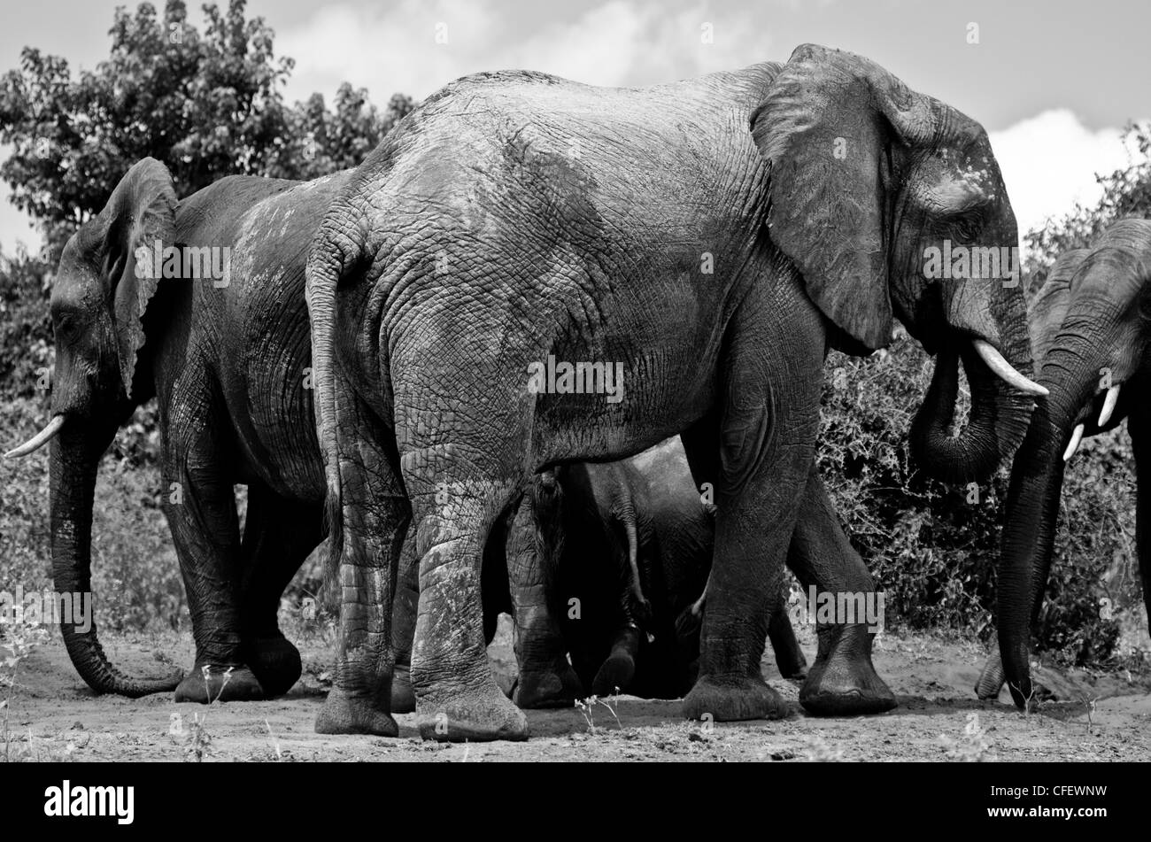 A group of African elephants stand near the water at Chobe National Park in Botswana, Africa Mar. 20, 2011. - Stock Image