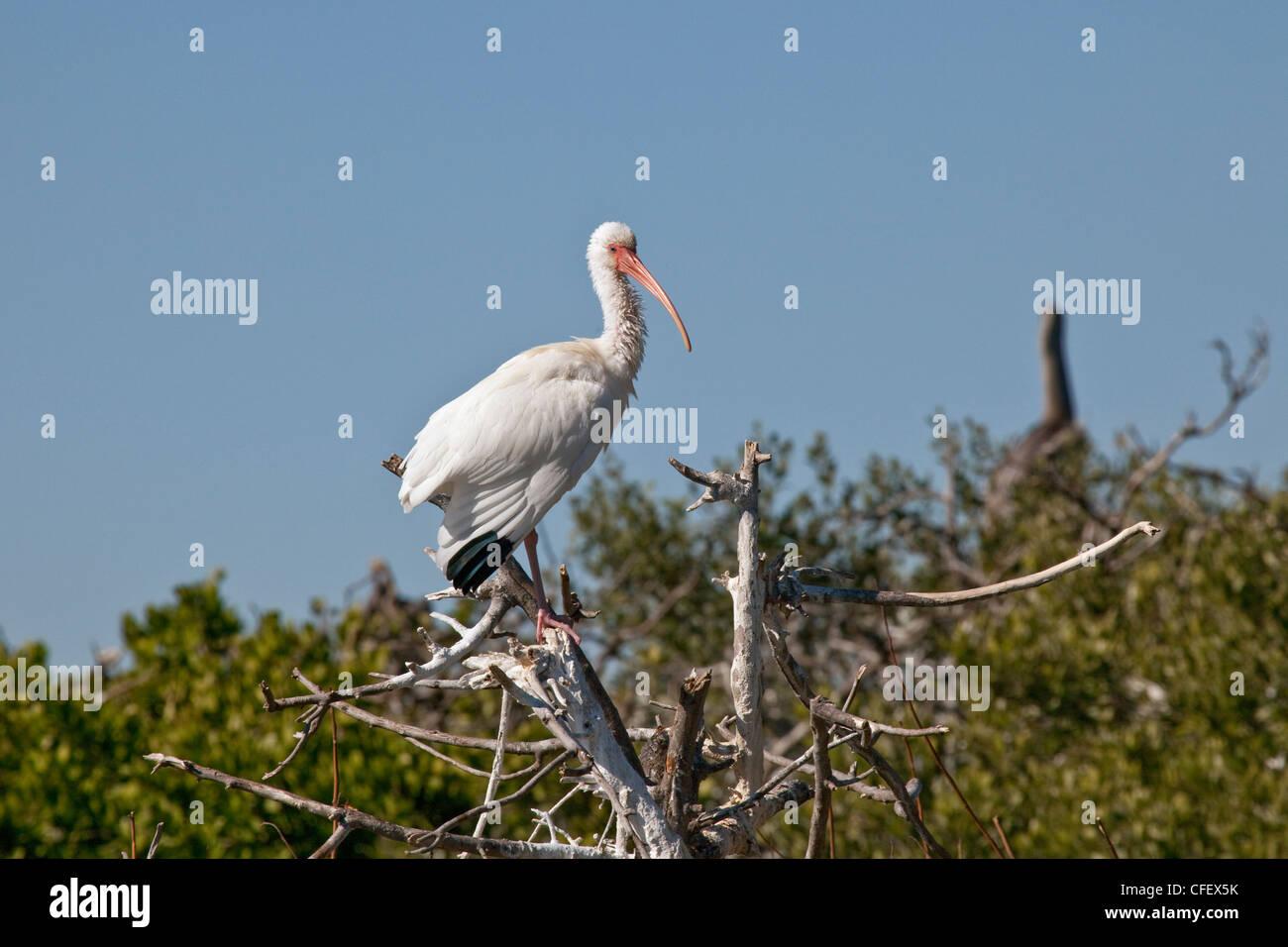 White ibis perched on Pelican Island in the Banana River near Cocoa Beach, Florida, USA. - Stock Image