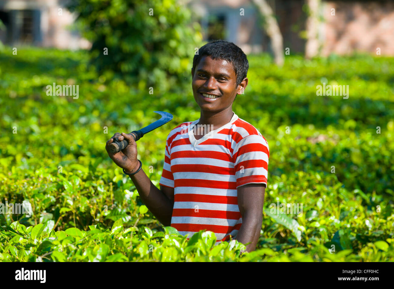 Worker in the Tea plantations in Assam, Northeast India, India, Asia - Stock Image