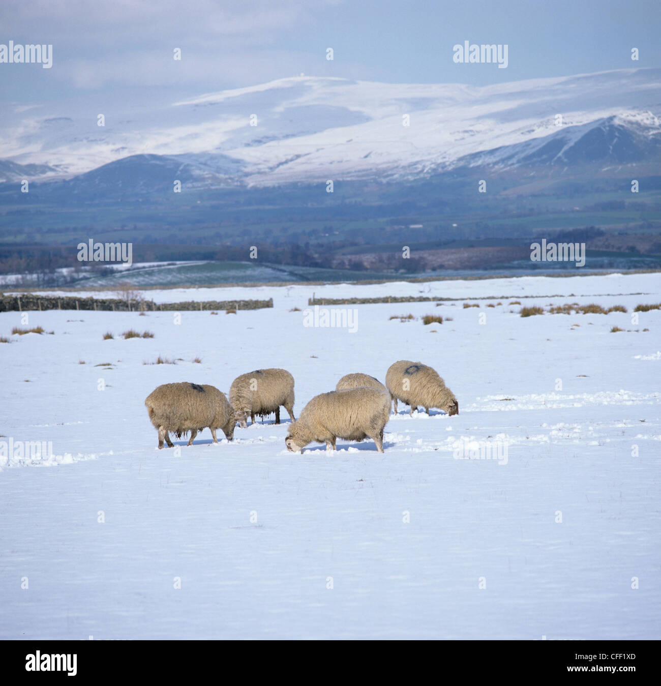 North country mules sheep grazing in snow Westmorland landscape in winter - Stock Image