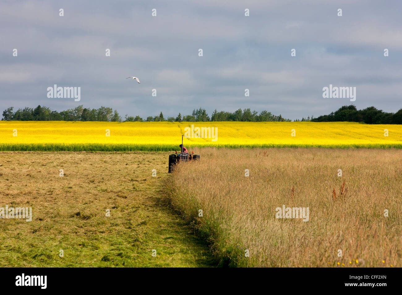 Farmer cutting hay in front of Canola Field in bloom, Guernsey Cove, Prince Edward Island, Canada - Stock Image